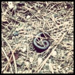 millipede at Point Lobos State Reserve