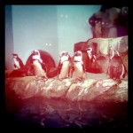 African Blackfooted Penguins at MBA